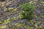 Red Spruce Seedling