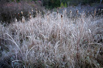 Frost on Broadleaf Cattail