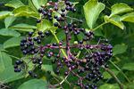 American Black Elderberry
