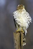 Wind Blown Gooper's Hawk