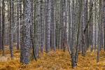 Pine Pine Plantation
