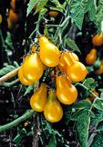 """Tomato, """"Yellow Pear"""""""