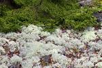 Reindeer Lichen and Red Spruce