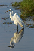 Great Egret, adult in high breeding plumage