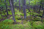 Red Spruce Swamp
