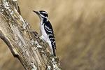 Ha iry Woodpecker