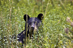 Black Bear in Tall Meadow Vegatation