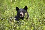 Black Bear in Tall Meadow Vegatation