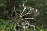 Roots of a Toppled Red Spruce