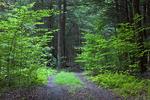Road Through Summer Forest
