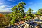 Pitch Pine on the Kittatinny Ridge