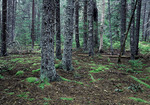 Red Spruce Forest