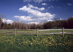 Fence and Dandelions