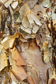 Bark on Young River Birch