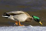 Mallard Walking on Ice