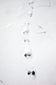 Northern River Otter Tracks