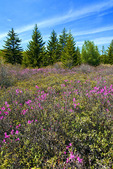 Boreal Wetland in Spring with Blooming Rhodora