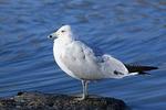 Second winter Ring-billed Gull