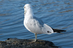 Second winter Ring-billed Gull Preening