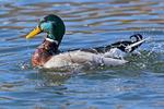 Mallard Duck Bathing
