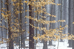 Late Winter Fog in a Red Pine Forest