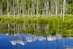 Beaver Pond Flooded Forest