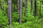 Red Pine Plantation with a North Hardwood Understory