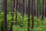 Hardwood succession in an Eastern Hemlock Forest due to Defoliation by the Hemlock Woolly Adelgid