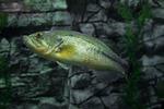Largemouth Bass (captive)