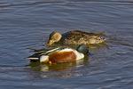 Northern Shoveler ducks feeding