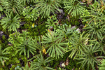 Southern Running-Pine in Sphagnum Moss