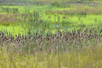 Wetland Meadow