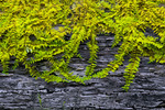 Delicate Fern Moss growing on a decaying log in Pennsylvania's Pocono Mountaiuns.