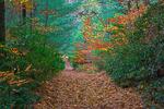 Trail through a autumn forerst.
