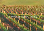 Vineyard (wine grapes)