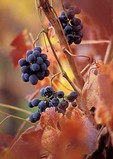 Wine grapes, autumn color