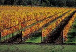 Vineyard rows, autumn color