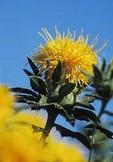 Safflower blossom