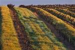 Vineyard, sunset lighting