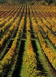 Vineyard, rows of wine grapes