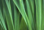Daffodil leaves, close-up