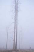 Tree trunks in fog