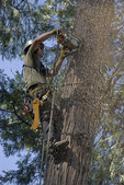 Logger high above ground using chainsaw to cut tree while top is supported by crane