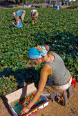 Young woman picking organic strawberries on small organic farm, Nevada City, California