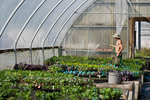 Irrigating in greenhouse on organic flower farm, Humboldt County, California