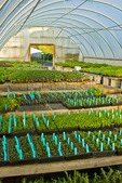 Young herb plants in greenhouse on organic farm, Humboldt County, California