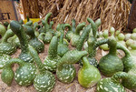 Gooseneck gourds at roadside produce business just before Halloween