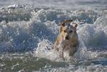 Yellow labrador retriever playing in ocean surf on Oregon beach