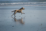Yellow labrador retriever playing in ocean surf, southern Oregon