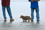Long haired dachshund with master at beach